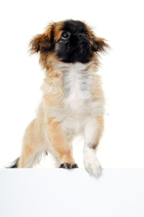 Cucciolo di cane e segno in bianco immagine stock