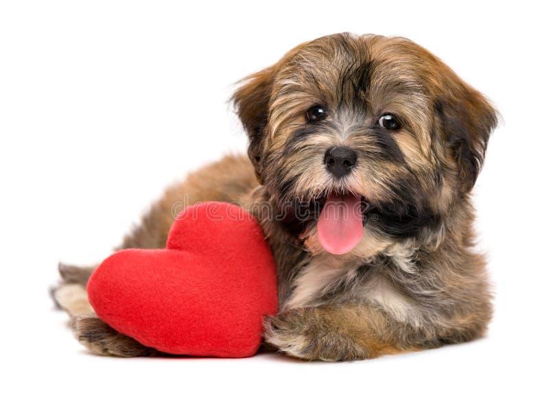 Cucciolo di cane havanese del biglietto di S. Valentino felice sveglio con un cuore rosso fotografie stock
