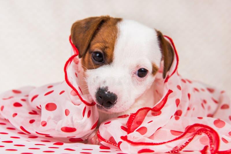 Cucciolo di cane di Jack Russell Terrier nel retro stile immagine stock libera da diritti