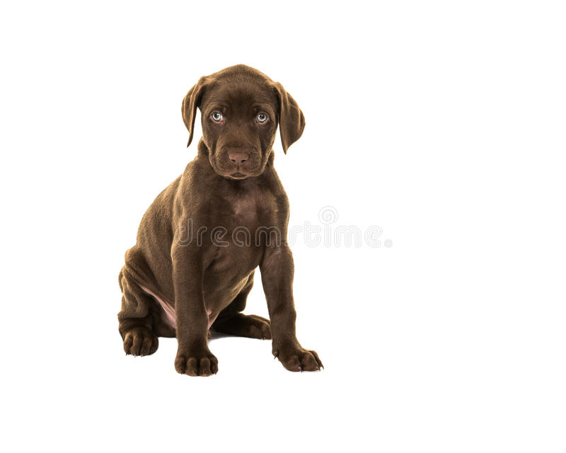 Cucciolo di cane marrone sembrante sveglio di labrador con gli occhi azzurri che si siedono iso immagine stock