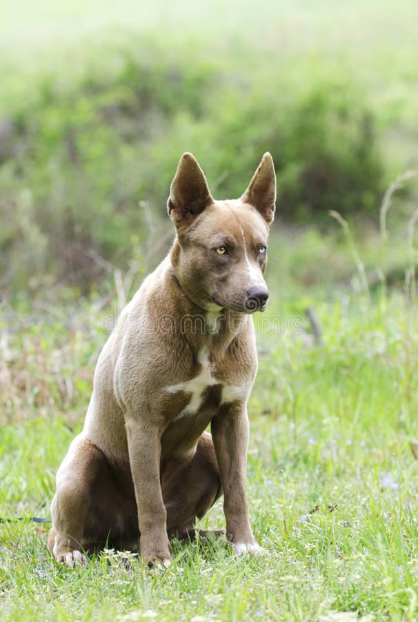 Cucciolo di cane misto della razza del husky siberiano con seduta dell'occhio azzurro immagine stock