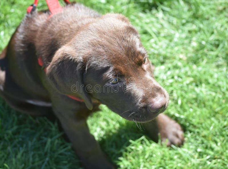 Cucciolo di cane molto sveglio di Brown Labrador che si siede immagine stock