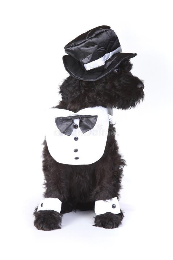 Cucciolo di cane nero sveglio di Terrier del Russo su fondo bianco immagine stock
