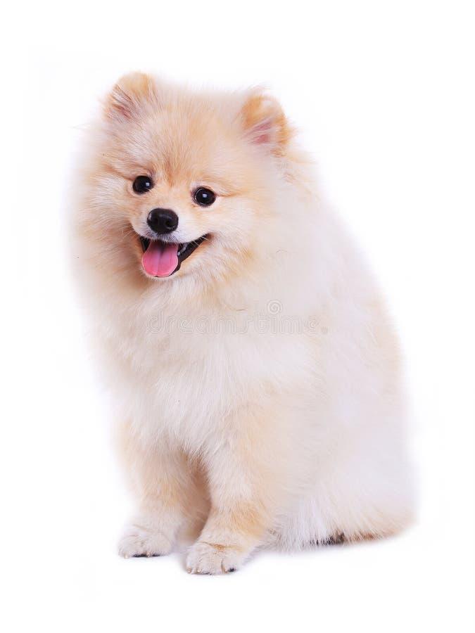 Cucciolo di cane pomeranian bianco immagine stock
