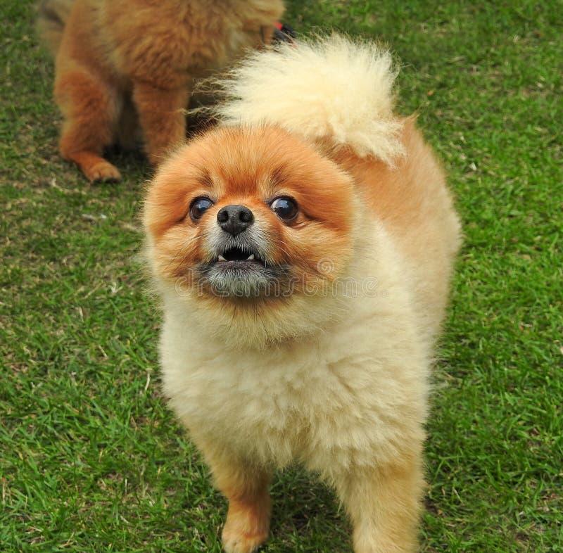 Cucciolo di cane di Pomeranian che scorteccia alla macchina fotografica immagini stock