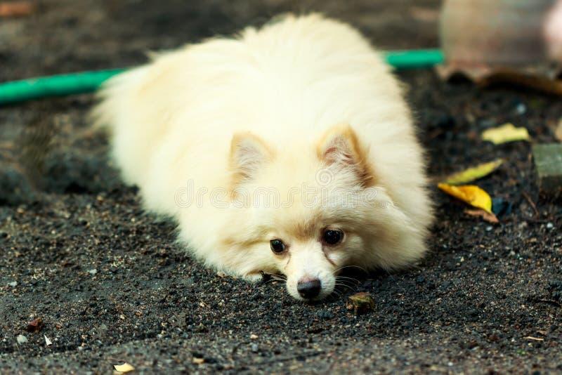 Cucciolo di cane pomeranian di Bianco-Brown fotografia stock libera da diritti