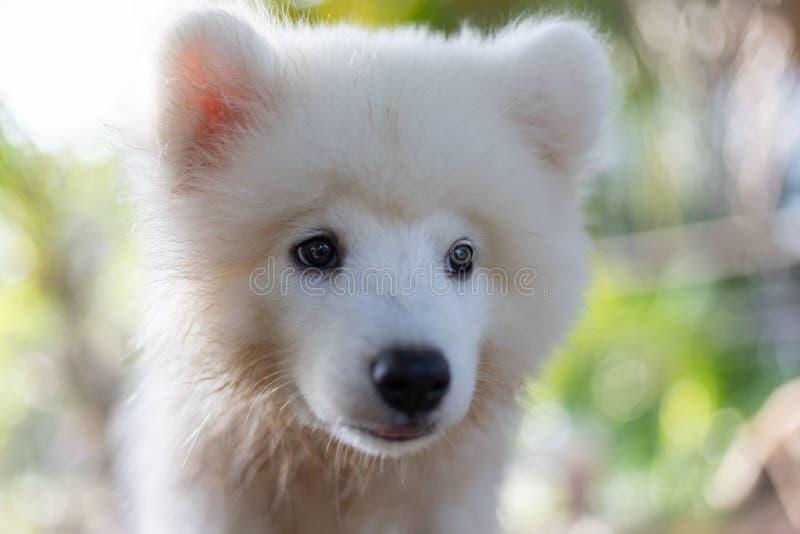 Cucciolo di cane samoiedo bianco all'aperto in parco  immagine stock