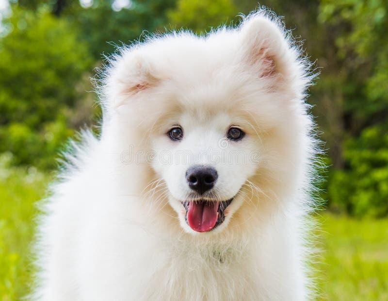 Cucciolo di cane samoiedo divertente sull'erba verde immagine stock