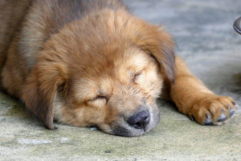 Cucciolo di cane di sonno Brown che si trova sulla terra immagine stock