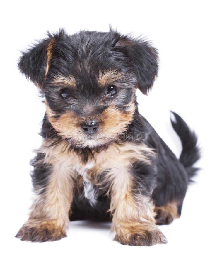 Cucciolo di cane sveglio dell'Yorkshire terrier immagini stock libere da diritti
