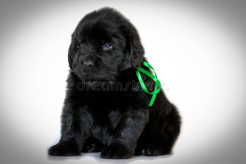 Cucciolo di cane di Terranova che si siede e che guarda lateralmente, su un fondo bianco Nastro verde legato il concetto degli an fotografia stock libera da diritti