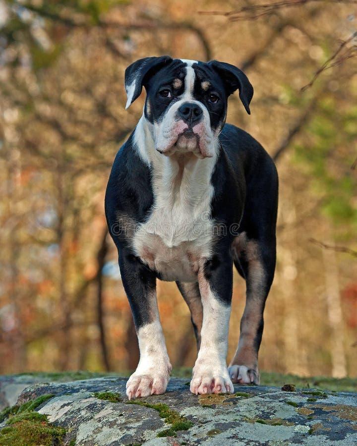 Cucciolo di cinque mesi di vecchio bulldog inglese, stante e posante davanti alla macchina fotografica immagini stock libere da diritti
