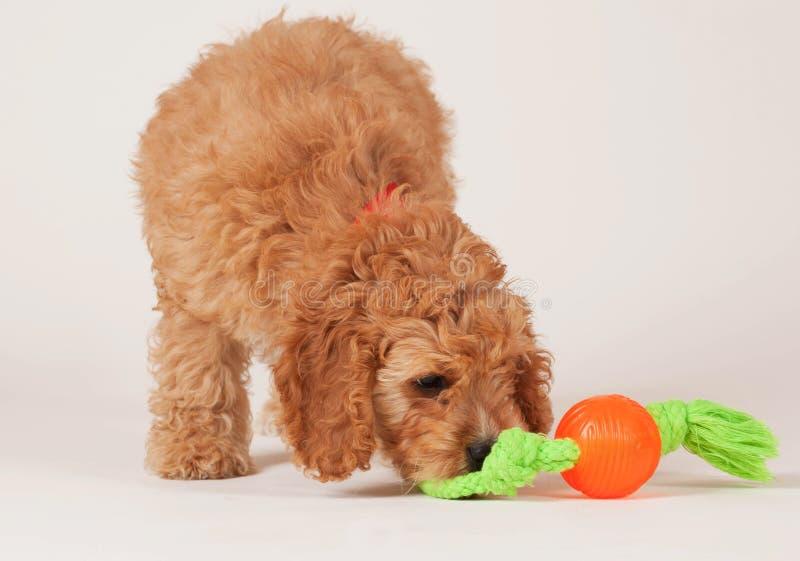 Cucciolo di Cockapoo con il giocattolo del cane fotografie stock
