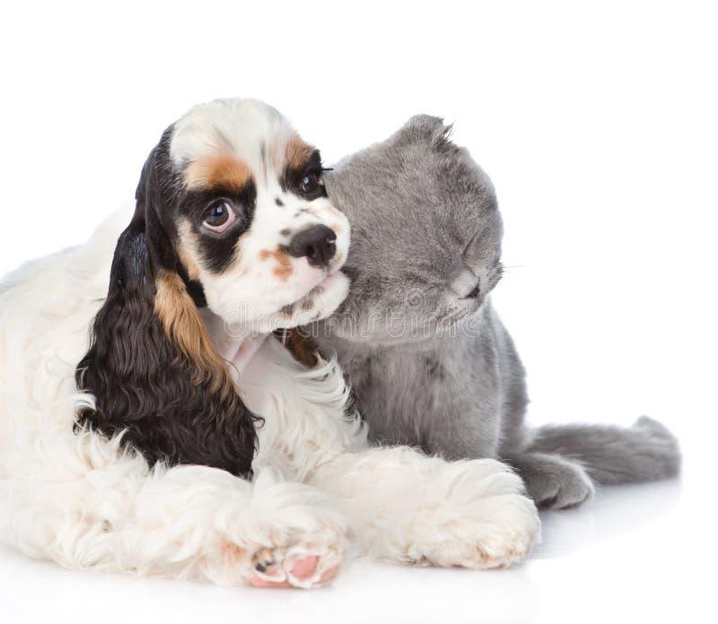 Cucciolo di cocker spaniel che mastica sul gattino dell'orecchio Isolato su briciolo fotografia stock libera da diritti
