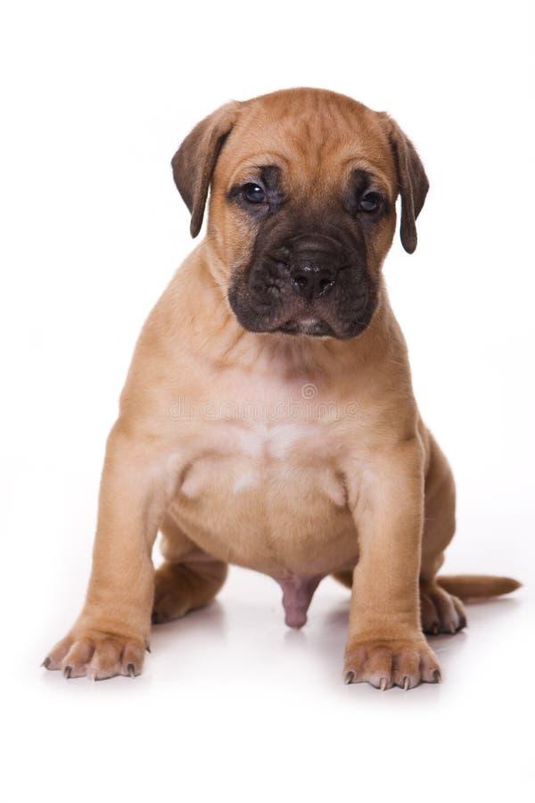 Cucciolo di Dogo Canario immagini stock