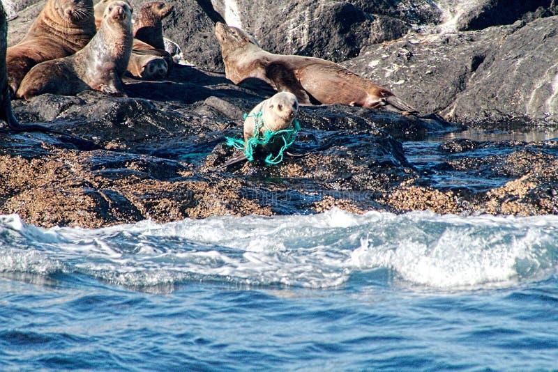Cucciolo di foca che strangola nella corda scartata immagini stock libere da diritti