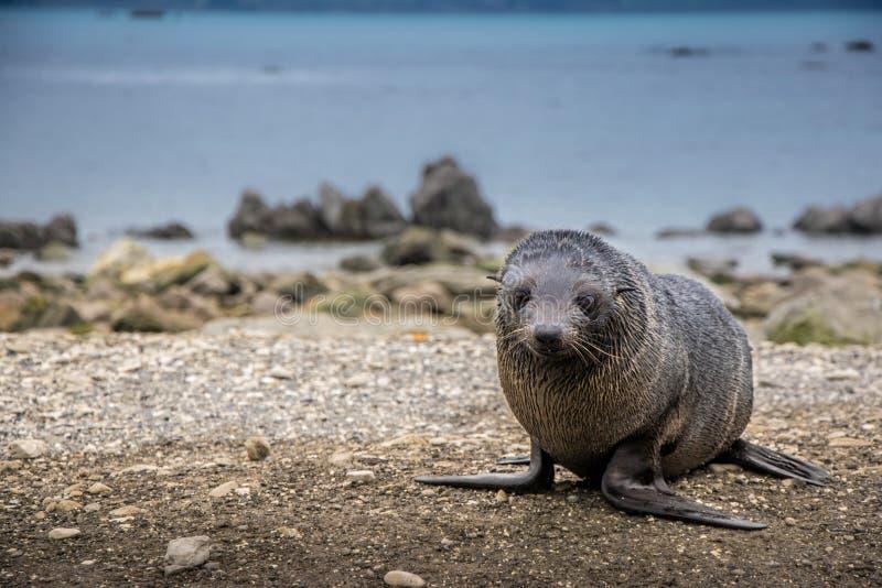 Cucciolo di foca della pelliccia della Nuova Zelanda immagine stock libera da diritti