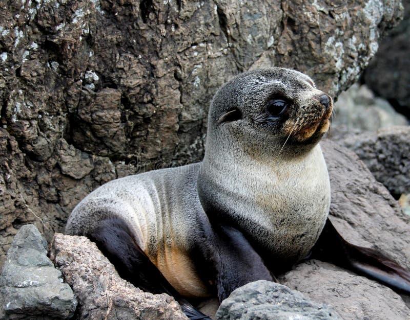Cucciolo di foca grigio del bambino che si trova sulle rocce fotografie stock