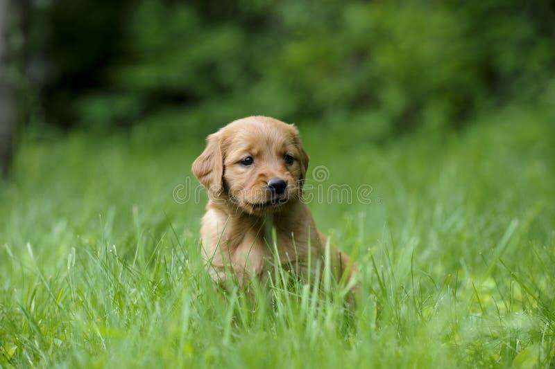 Cucciolo di golden retriever, immagine stock libera da diritti