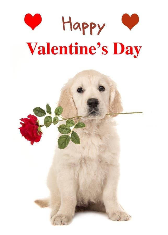 Cucciolo di golden retriever con una rosa rossa e un giorno felice del ` s del biglietto di S. Valentino immagini stock