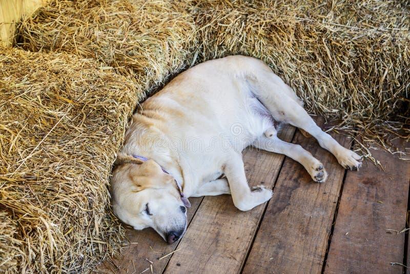 Cucciolo di golden retriever di sonno in fattoria immagine stock