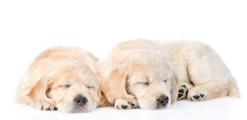 Cucciolo di golden retriever di sonno due Isolato su priorità bassa bianca fotografie stock libere da diritti