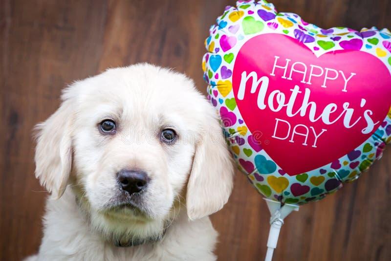 Cucciolo di golden retriever sulla festa della Mamma immagine stock libera da diritti