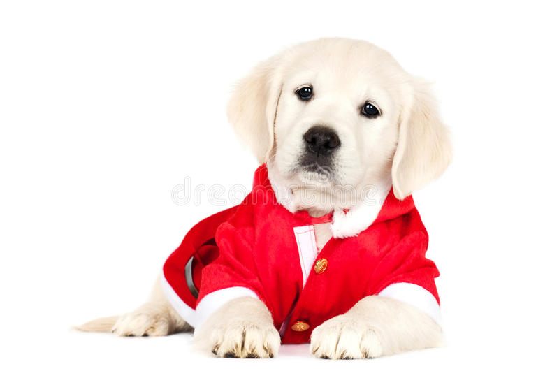 Cucciolo di golden retriever in un costume di Santa fotografie stock