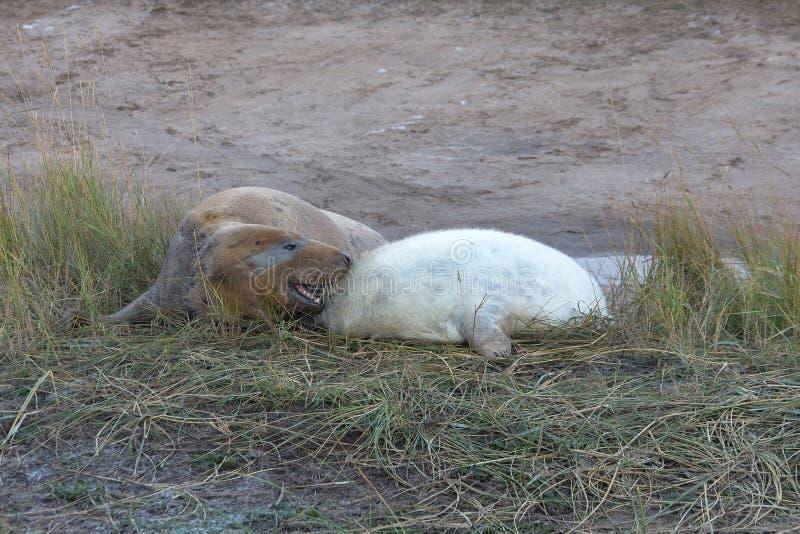 Cucciolo di Grey Seal con la madre fotografia stock
