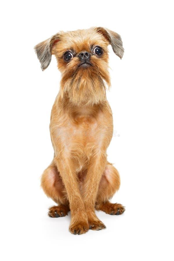 Cucciolo di Griffon Bruxelles fotografia stock libera da diritti