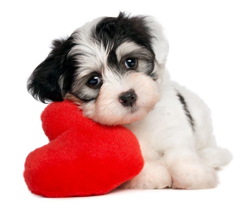Cucciolo di Havanese del biglietto di S. Valentino dell'amante immagine stock libera da diritti