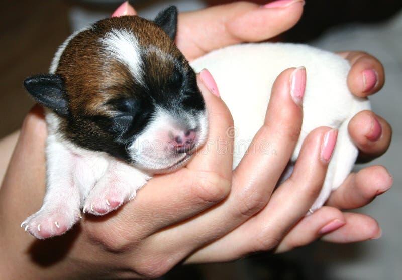 Cucciolo di Jack Russell Terrier fotografia stock libera da diritti