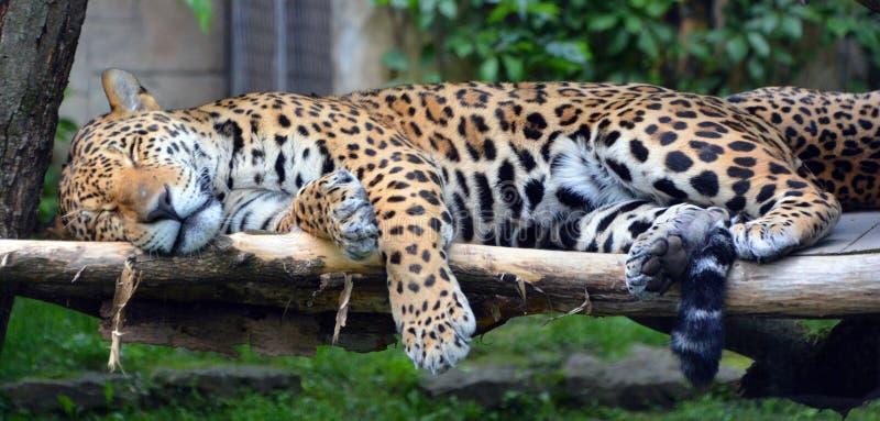 Cucciolo di Jaguar fotografie stock libere da diritti