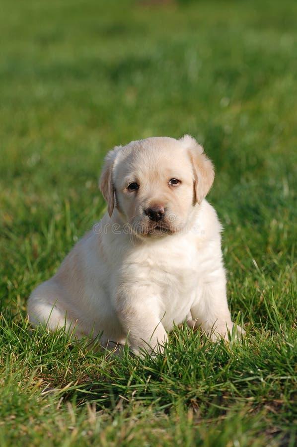 Cucciolo di Labrador fotografia stock libera da diritti