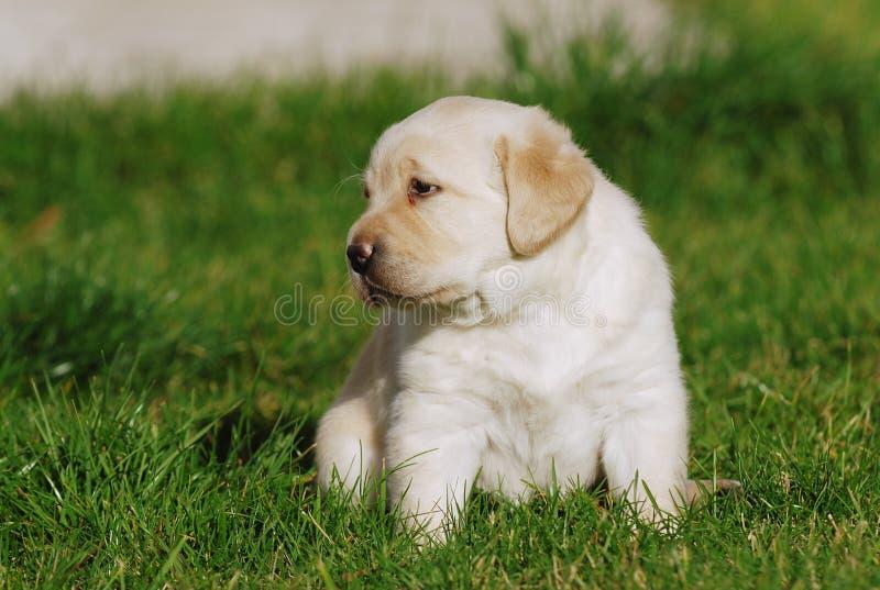 Cucciolo di Labrador immagine stock libera da diritti