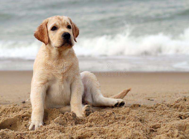 Cucciolo di Labrador alla fine del ritratto del mare fotografie stock libere da diritti