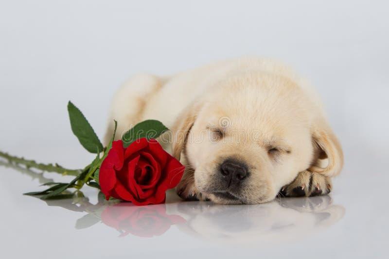 Cucciolo di Labrador che dorme sul bianco con la rosa rossa fotografia stock