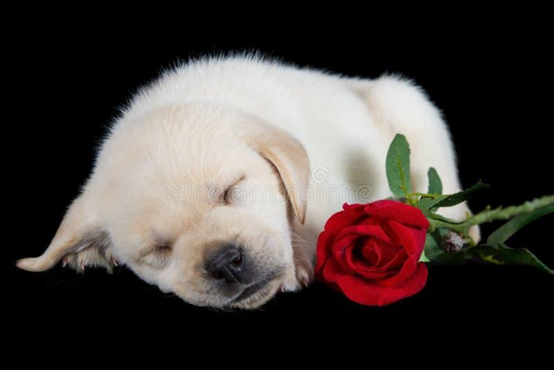 Cucciolo di Labrador che dorme sul nero con la rosa rossa fotografia stock libera da diritti