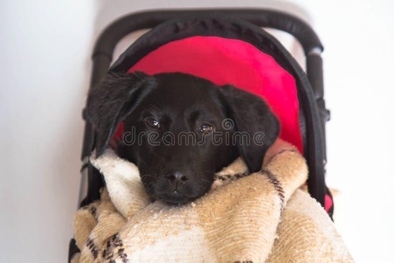 Cucciolo di Labrador che si siede in un passeggiatore del giocattolo del bambino fotografie stock libere da diritti