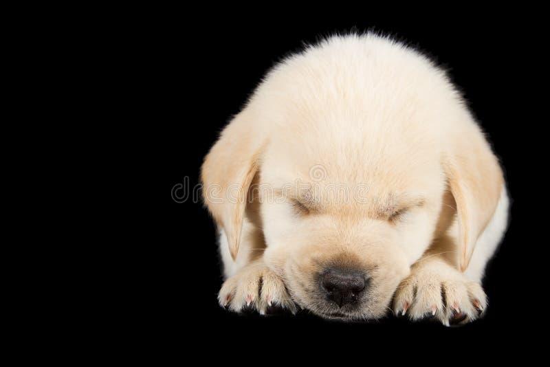 Cucciolo di Labrador che sta sul nero isolato immagini stock libere da diritti