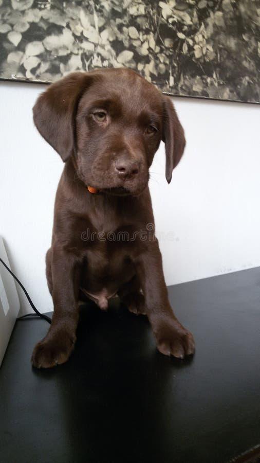 Cucciolo di Labrador del cioccolato immagini stock