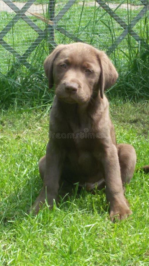 Cucciolo di Labrador vecchio 12 settimane immagini stock