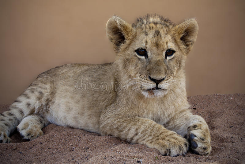 Cucciolo di leone alla mamma Tao in Lephalale immagine stock libera da diritti