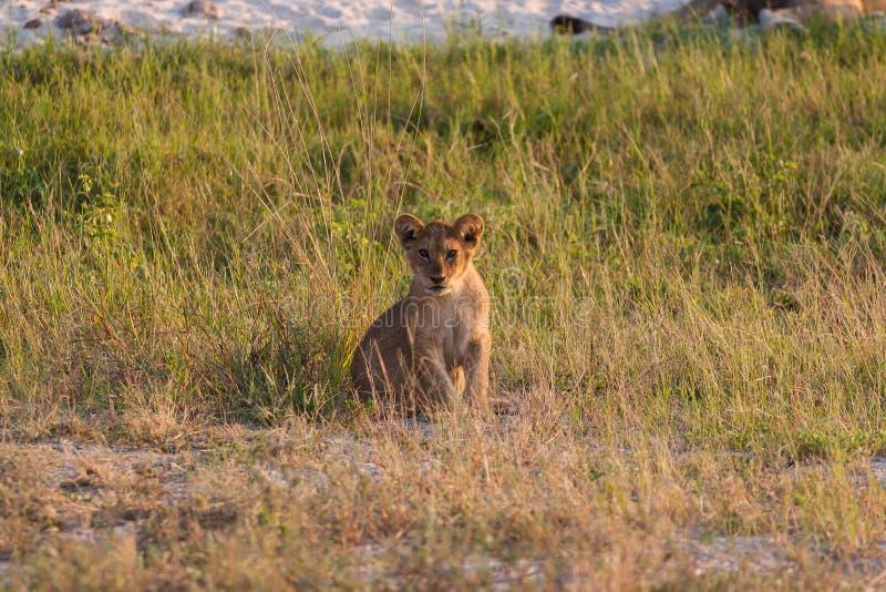 Cucciolo di leone che si rilassa sulla savana del parco nazionale di Chobe fotografie stock