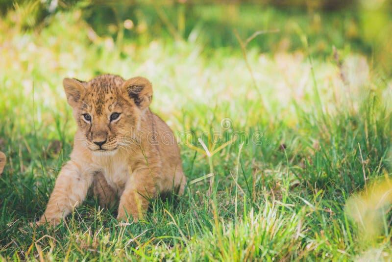 Cucciolo di leone neonato che prova a stare per la prima volta su Safari dell'Africa in masai Mara fotografie stock