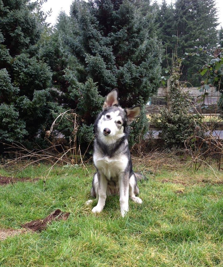 Cucciolo di lupo fotografia stock