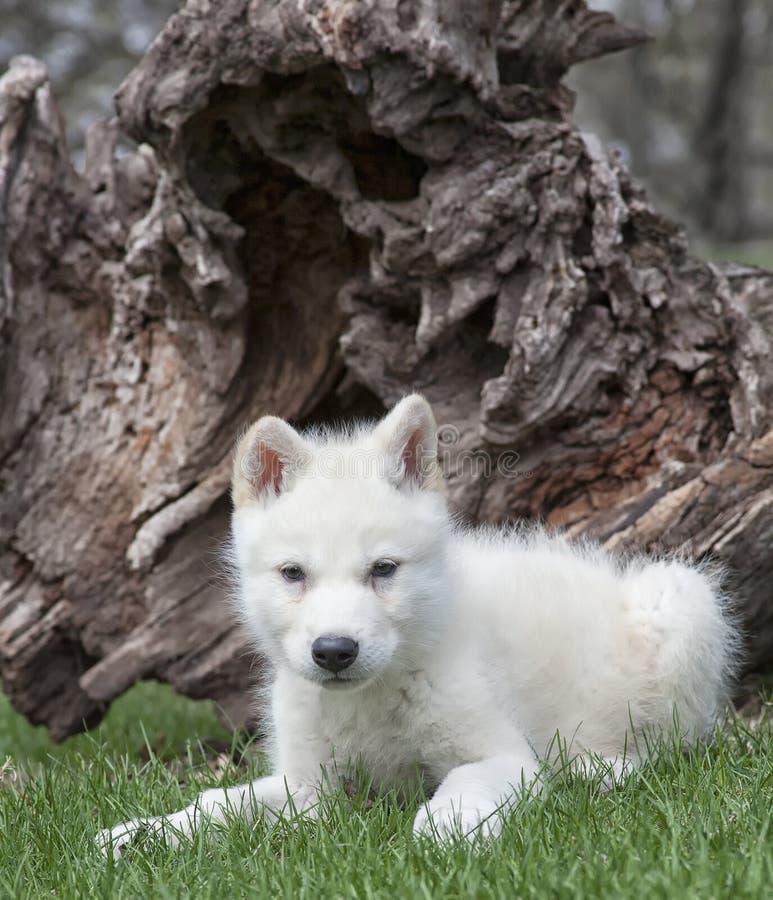 Cucciolo di lupo artico fotografie stock