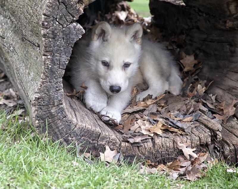 Cucciolo di lupo artico immagini stock