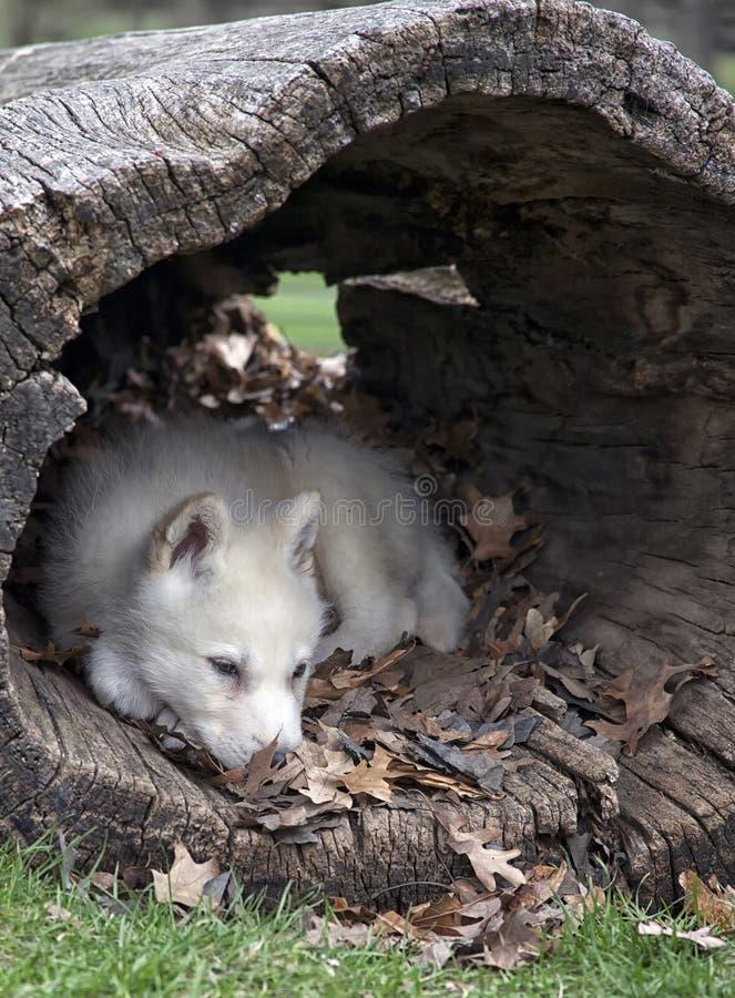 Cucciolo di lupo artico immagine stock