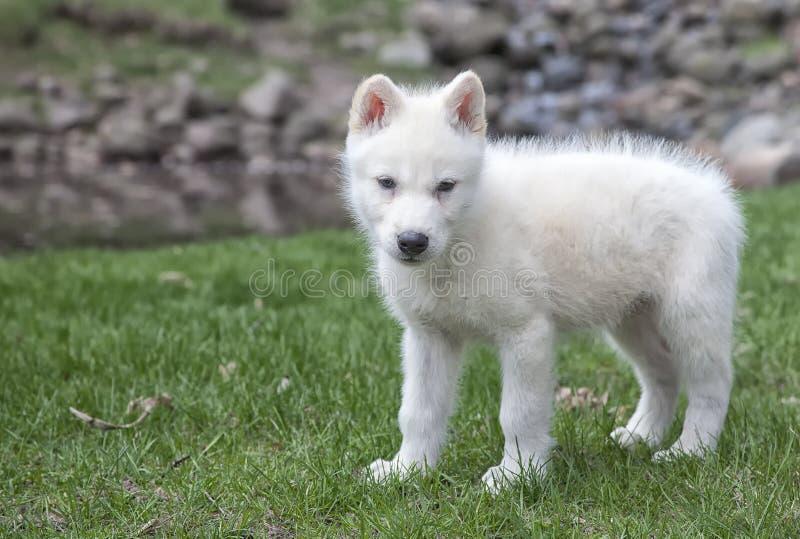 Cucciolo di lupo grigio artico immagine stock libera da diritti